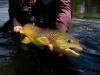 Seventy cm trout